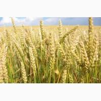 Закупка пшеницы. Опт. Самовывоз