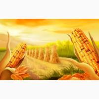 Закупівля кукурудзи. Самовивіз з поля, господарства, елеватора