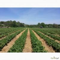 Фг продає полуницю з поля обєми до 7 тон