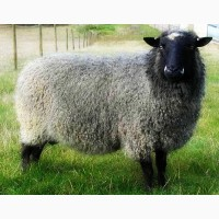 Куплю овцы любой породы на экспорт