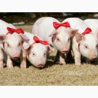 Свиноматки и поросята породы : ландрас, больш. бел, F-1(бершать)