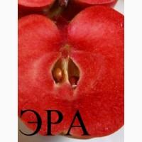 Саженцы яблонь с красной мякотью, набор 3 шт, сорта Эра(1метр)Сирена и Бая Мариса больше 1м
