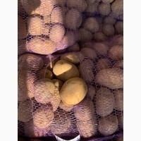 Продам Продовольственную Картошку сорта Скарб, Бриз, Санэ, Королева Анна, Ред Скарлет