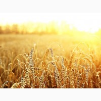 Продам посевной материал озимой пшеницы Амазонка Твердая озимая (супер элита)