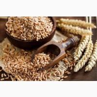 Форвард на пшеницю спельту