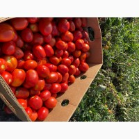 Реализую оптом помидор сливка « Пьетра Росса»
