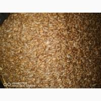 Продам пшеницю третій клас 220тон