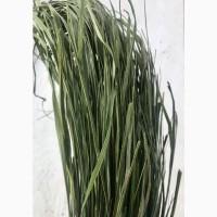 Зубрівка трава, лесная зубровка, лісова