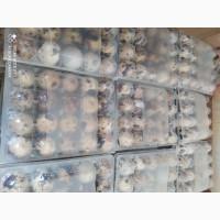 Продам столовые яйца перепелов