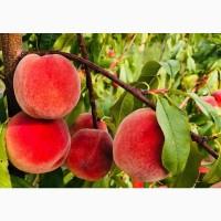 Оптовий продаж персиків з саду без посередників