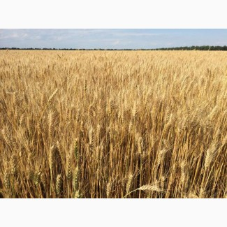 """Озима пшениця Златоглава, насіння ТОВ """"ЛІСТ"""" (реалізуємо від 1т)"""