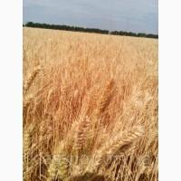 Купуємо пшеницю фуражну також 3клас, по Украине Кількість від 20 тонн. Наличные