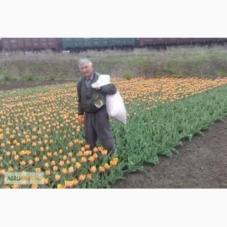 Продам луковицы тюльпанов сорт Forgotten Dreams, Донецкая область
