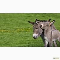 Домашний Осел (Equus asinus asinus)