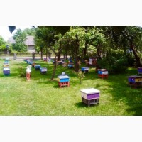 Бджоломатки Карпатка - пчеломатки Карпатка