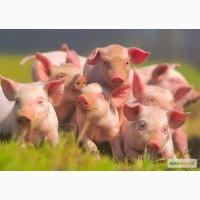 Свинокомплекс реалізує товарних поросят