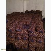 Продам посадочную картошку, сорт санте, пикасо, рокко 30 тонн