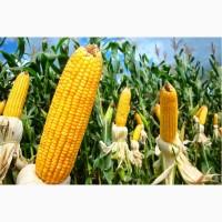 НОВИНКА !!! Семена кукурузы Тесла (ФАО 350)
