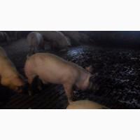 Продам свиней м#039;ясних порід