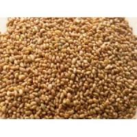Продам семена ЛЮЦЕРНЫ оптом в больших и малых объемах. Цена договорная