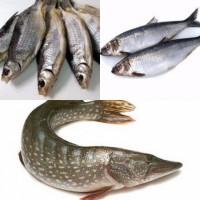 Продам свіжоморожену та вялену рибу