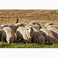 Продам овец меренос