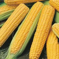 Продам семена кукурузы Галатея, Хотин, Збруч, МАГ, Яровец, Зоряна, Кремень, Днепровский