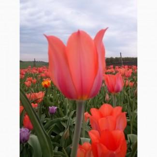 Луковица тюльпана Темпл оф Бьюти. Одесская обл