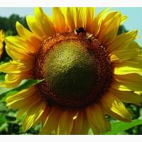 Насіння соняшнику Антей SU (толерантний до гранстару)