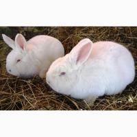 Продам кролів в Надвірній