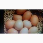 Продам яйца куриные домашние, Житомирская обл