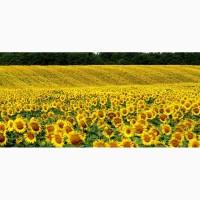 Продам семена подсолнечника Гусляр (гибрид F1)