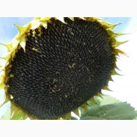 Семена пподсолнечника Канадский трансгенный гибрид MORGAN F 669