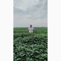 Соя ранняя, семена сои канадской селекции
