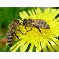 Продам бджолопакети карпатської породи на рамці 230 (рута) 4 розпл. +1