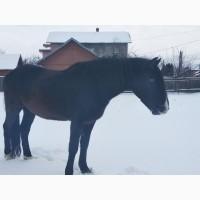 Терміново продам коня (кінь, мерин)