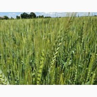 Продам пшеницю 2-3 класу