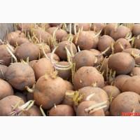 Куплю семенной картофель Ривьера, Гранада, Пикассо, Лабелла и другие