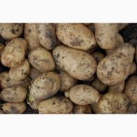 Продам крупный картофель сорта Скарб