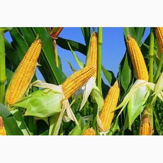Кукурудза куплю. Закуповуємо кукурудзу