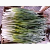 Продам перо цибулі лука