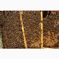 Продам пчелопакеты порода карника и карпатка