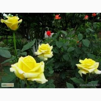 Продам кусты чайно-гибридных роз