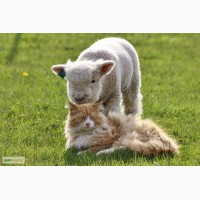 Вівці карликові, міні вівці