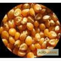 Кукуруза Гримальди Saatbau Импорт