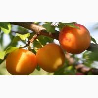 Саженцы алычи купить в Киеве и плодовые деревья