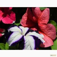 Продам петунию крупноцветковую