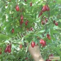 Ягоды (плоды) кизила свежие