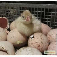 Индюшиное яйцо для инкубации белой мясной породы БЮТ-8, БИГ-6 от 10 шт