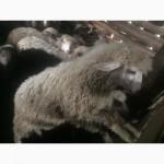 Продажа бараны баранов овцы овец ягнята